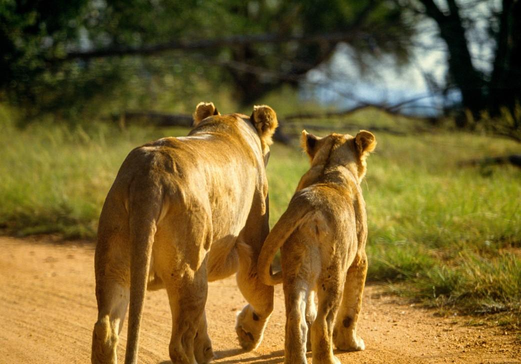 Löwin mit Kind