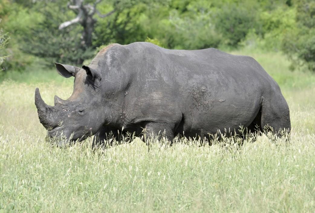 Nashorn Namibia