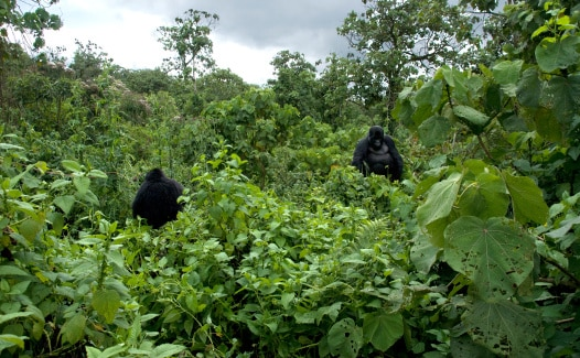 Wald mit Berggorillas