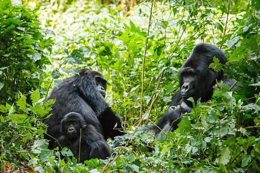 Silber Rücken Gorilla