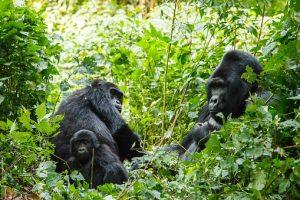 ruanda_berggorillas_rundreise