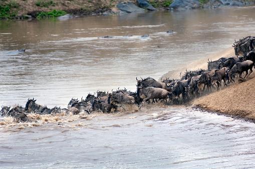 Gnus überqueren einen Fluss