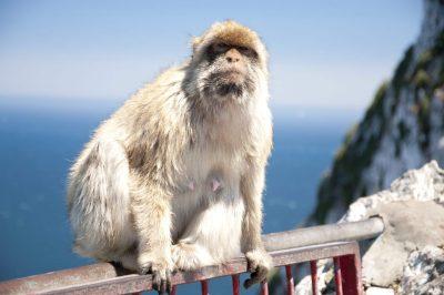 Affe - Affenfelsen- Gibraltar