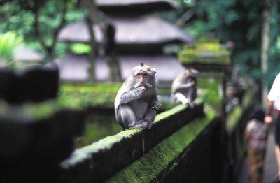 Indonesien Gruppenreise -Bali Rundreise -Indonesien Bali Sulawesi Rundreise -Indonesien individuell -Affe auf Mauer - Monkey Forest