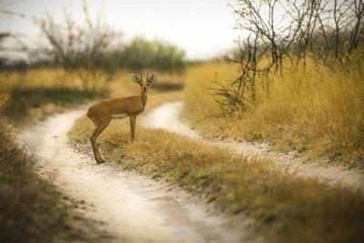 Antilope - Kalahari - Botswana
