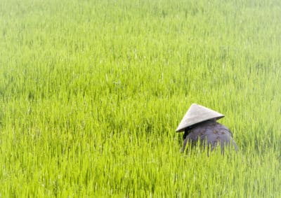 Vietnam Kreuzfahrt -Vietnam Individualreise - Vietnam Radreise -Vietnam Gruppenreise -Arbeiter im Reisfeld - Zentra-Vietnam