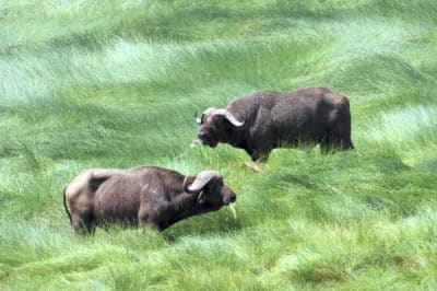Büffel - Serengeti - Tansania