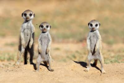 Namibia Familienurlaub - Baby Erdmaennchen - Namibia