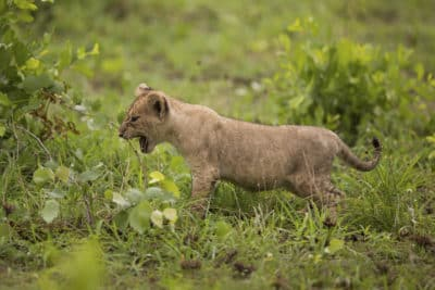 Babyloewe - Kruger Park - Suedafrika