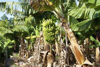Bananen - La Gomera - Spanien