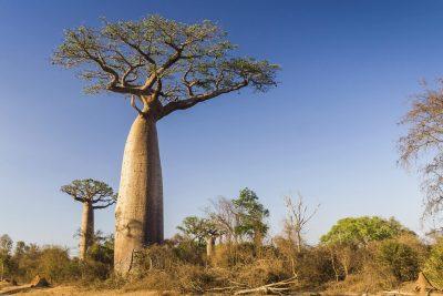 Gruppenreise Madagaskar -Baobab Baeume - Sued-Madagaskar