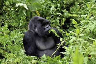 Berggorilla - Gorilla Trecking - Ruanda Reisen