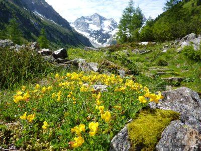 Blumen -Mieminger Sonnenplateau - Oesterreich