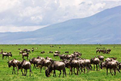 Tansania Safari -Bueffel - Serengeti - Tansania
