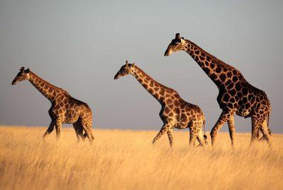 Drei Giraffen im Etosha Nationalpark - Namibia