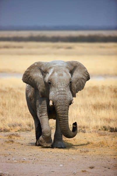 Elefant - Etosha Nationalpark - Namibia