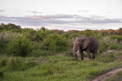 Rundreise durchs Suedliche Afrika - Namibia Südafrika Rundreise - Elefant - Krueger National Park - Suedafrika