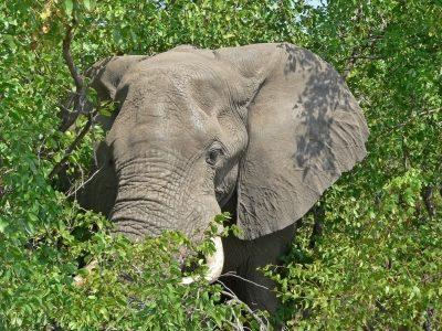 Lesotho Rundreise -Rundreise durchs Suedliche Afrika - Suedafrika Individuell - Elefant - Mopane Landschaft Limpopo