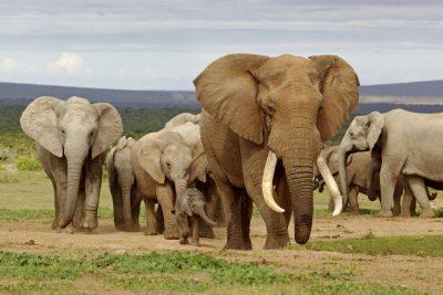 Elefantenherde - Suedafrika