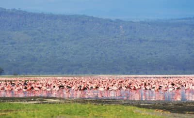 Flamingos - Lake Nakuru - Kenia
