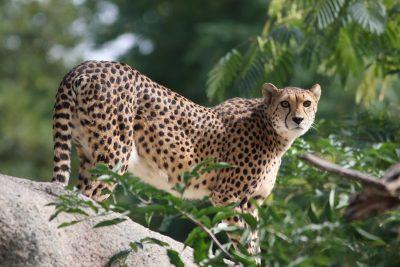 Gepard - Serengeti - Tasania