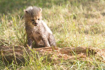 Gepardenbaby - Namibia