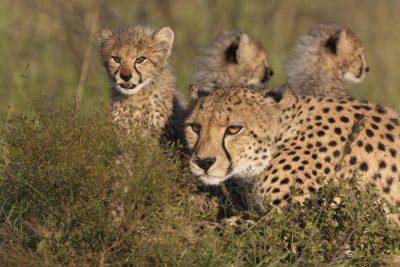 Gepardenfamilie im Versteck - Tansania