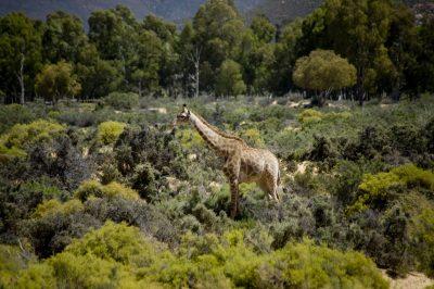 Suedafrika Erlebnisreise - Suedafrika Individualreise -Giraffe - Kariega Game Reserve - Suedafrika