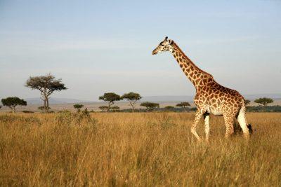 Giraffe - Tsavo West - Kenia