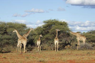 Giraffen - Kenia