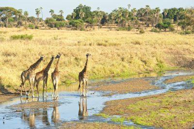 Tansania Safari -Giraffen - Tarangire National Park - Tansania