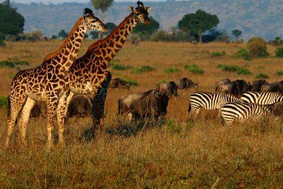 Giraffen und Zebras - Masai Mara - Kenia