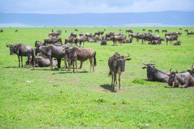 Gnus - Masai Mara - Kenia