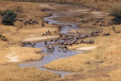 Gnus am Fluss -TarangireNational Park - Tansania