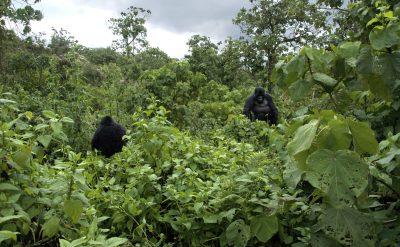 Rundreise Uganda -Gorillas - Parc National des Vulcans - Ruanda