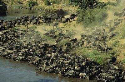 Große Migration - Masai Mara - Kenia
