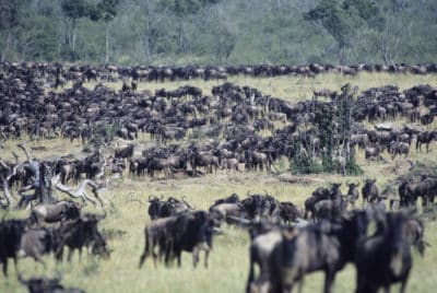 Große Tierwanderung - Serengeti National Park - Tansania