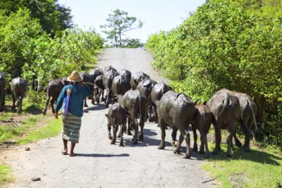 Herde und Hirte - Lombok - Indonesien