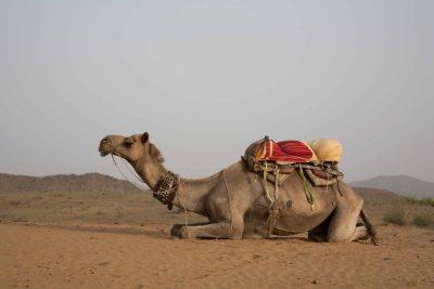 Fahrradreise Indien -Kamel - Indien