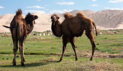 Reiturlaub Mongolei -Mongolei Rundreise -Gruppenreise Mongolei -Kamele - Mongolei