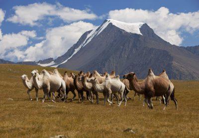 Erlebnisreise Mongolei -Mongolei Studienreise -Mongolei Rundreise -Mongolei Rundreise -Mongolei Gruppenreise -Kamelherde