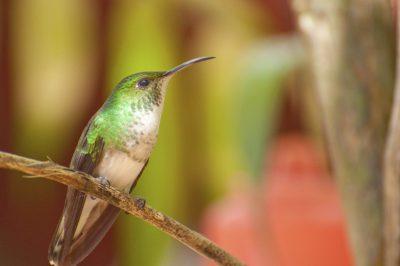 Kolibri - Costa Rica