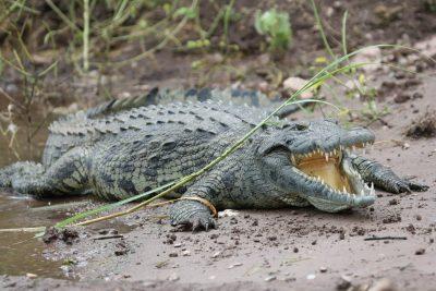 Krokodil - Chobe National Park - Botswana