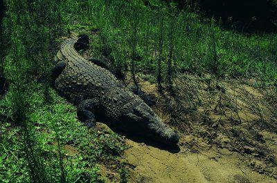 Krokodil - iSimangaliso-Wetland-Park - Suedafrika