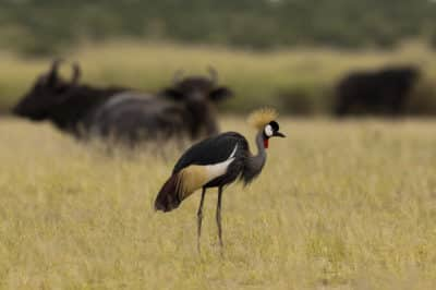 Uganda Gruppenreise -Kronenkranich - Lake Mburo Nationalpark - Uganda