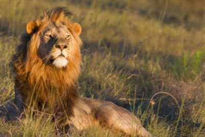 Löwe im Gras - Serengeti National Park - Tansania