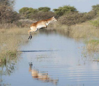 Letschwe Antilope springt - Botswana