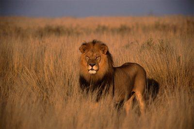 Loewe - Kariega Game Reserve - Suedafrika