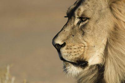 Suedafrika Abenteuerreise - Loewe - Krueger National Park - Suedafrika