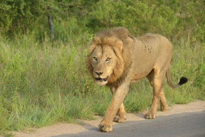 Suedafrika Abenteuerreise - Loewe am Strassenrand - Krueger National Park - Suedafrika
